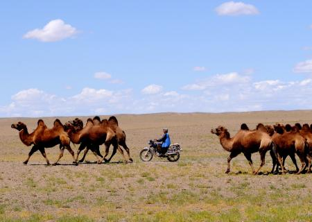 Mongolia lande nomadi - cammelli_davide guglielmi_contemporary art of travel